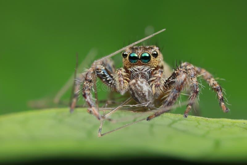 Skokowy pająk i zdobycz na zielonym liściu w naturze zdjęcia royalty free