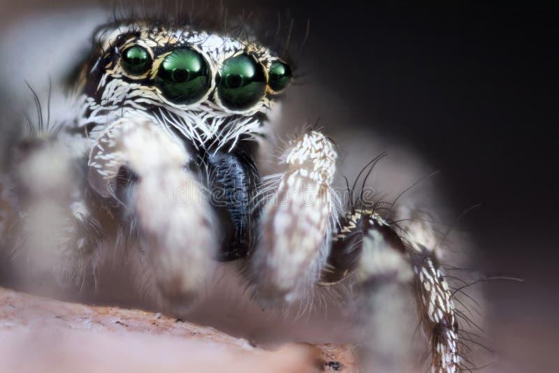Skokowy pająk Makro- obrazy stock