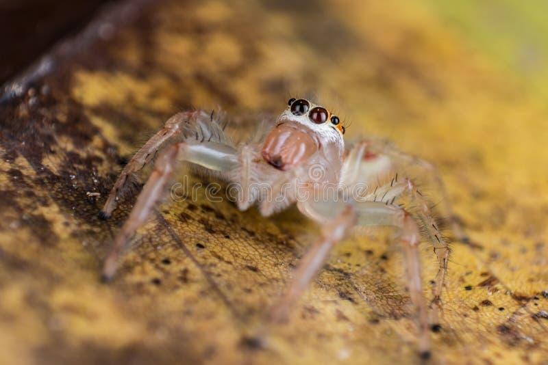 Skokowy pająk na żółtym liścia ekstremum zakończeniu w górę Makro- fotografii obrazy stock