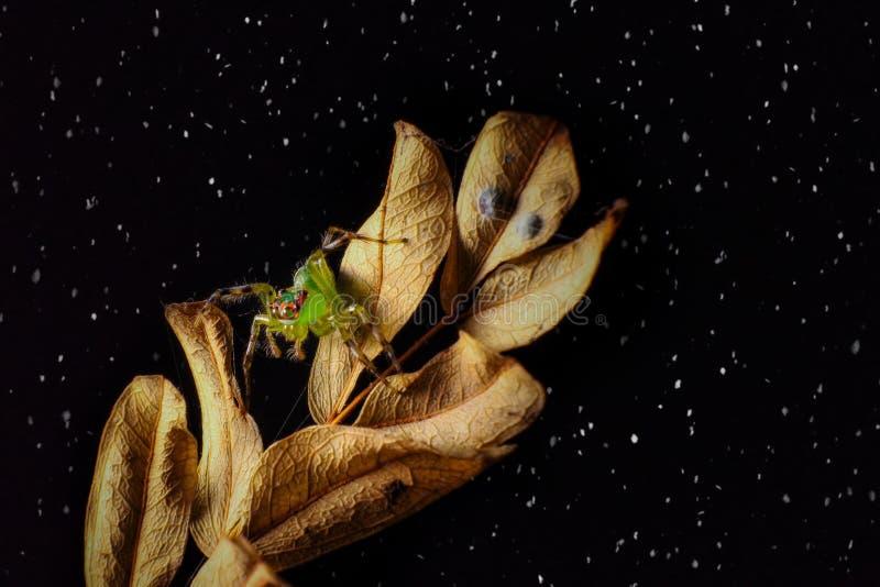 Skokowy pająk na deszczu zdjęcia royalty free