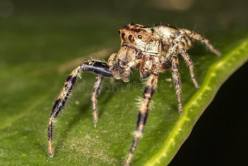 Skokowy pająk na liścia ekstremum zakończenia Makro- fotografii skokowy pająk na liściu up - obraz stock