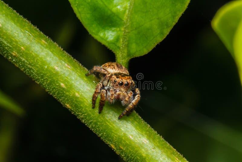 Skokowy pająk na zielonym liściu obrazy royalty free