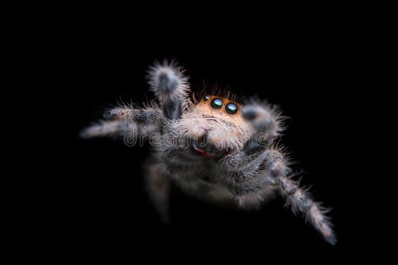 Skokowy pająk skacze w powietrzu z czarnym tłem w naturze obraz royalty free