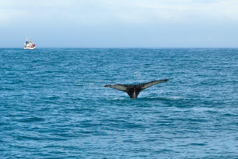Skokowy wieloryb w morzu na tle statek z turystami Iceland fotografia royalty free
