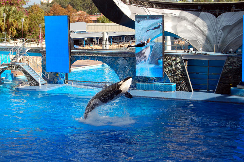 skokowy zabójcy orki trenera wieloryb obraz stock