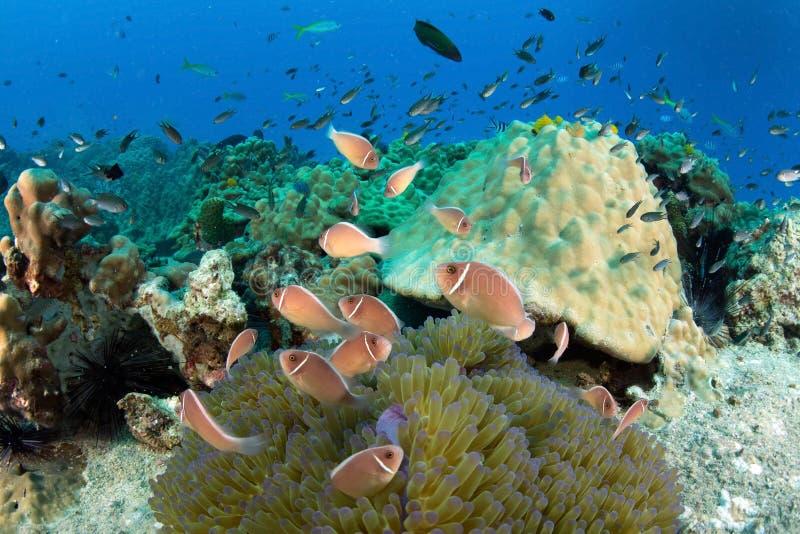Skola av anemonfisken arkivbild