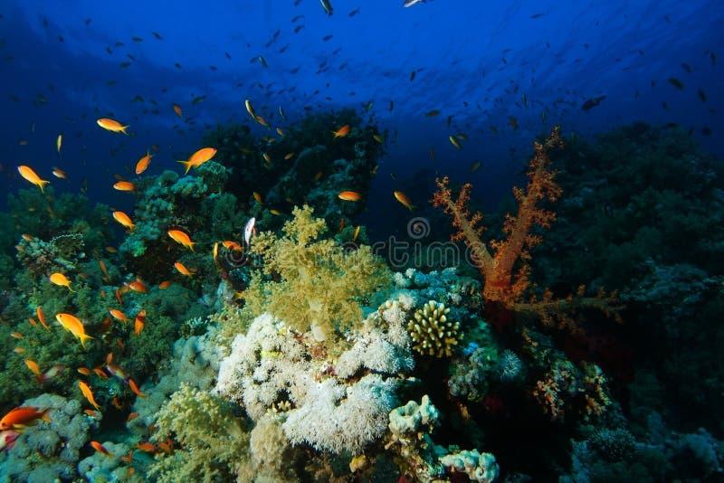 Skola av badet för havsgoldiefisk över de hårda och mjuka korallerna in arkivbilder