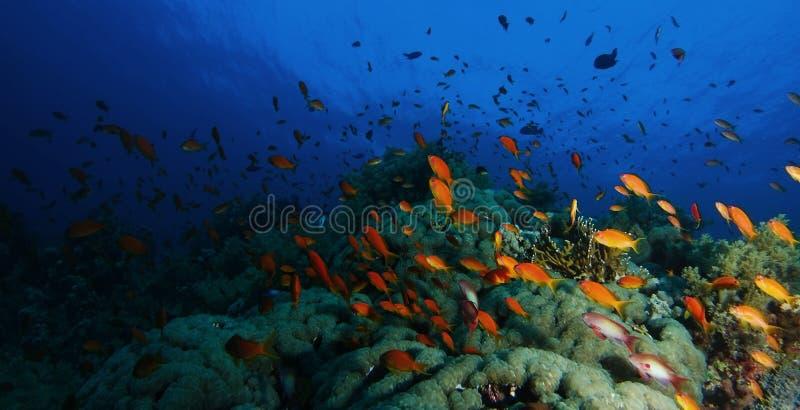 Skola av badet för havsgoldiefisk över korallträdgården i en dramat royaltyfri foto