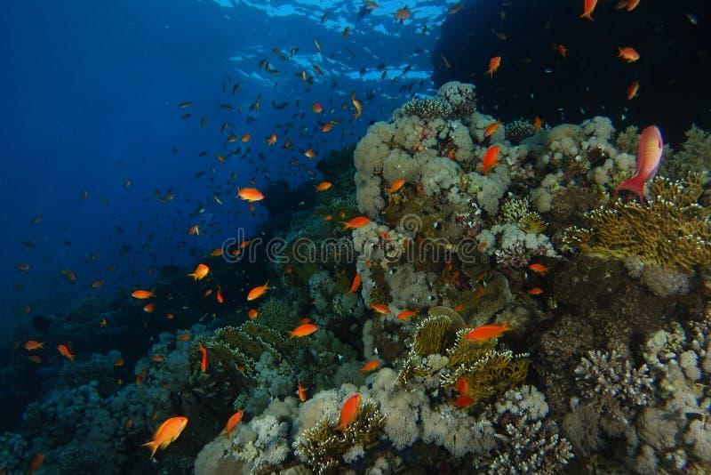 Skola av badet för havsgoldiefisk över korallträdgården i hajar r royaltyfri bild