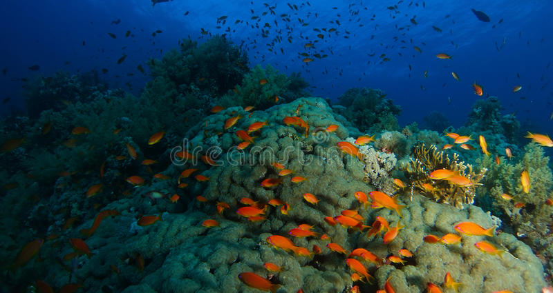 Skola av badet för havsgoldiefisk inom korallträdgården i en sup fotografering för bildbyråer