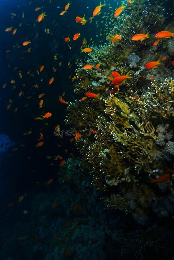 Skola av badet för havsgoldiefisk nära korallträdgården i hajar r royaltyfri fotografi