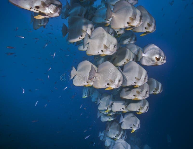 Skola av batfishen i blått vatten arkivfoton