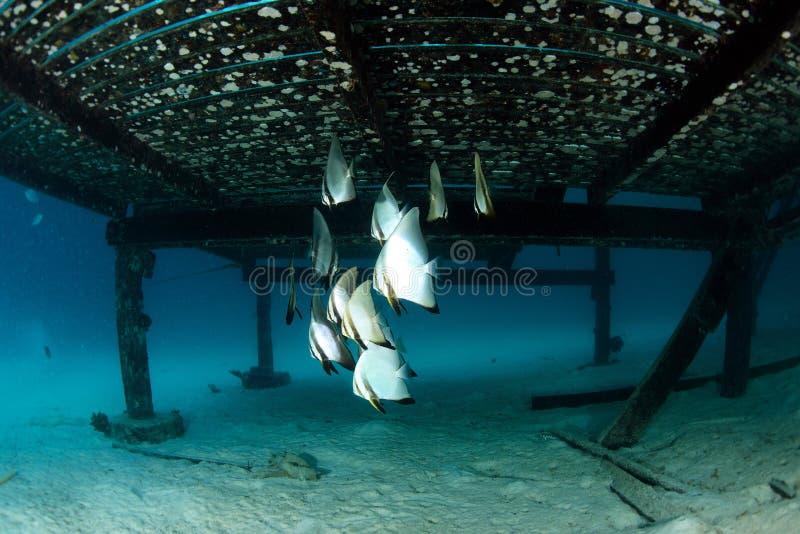 Skola av batfishen under träbron arkivbilder
