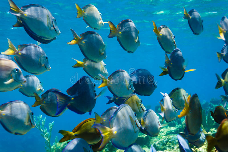 Skola av blå simning för fisk för skarp smakacanthuruscoeruleus på korallreven royaltyfri foto