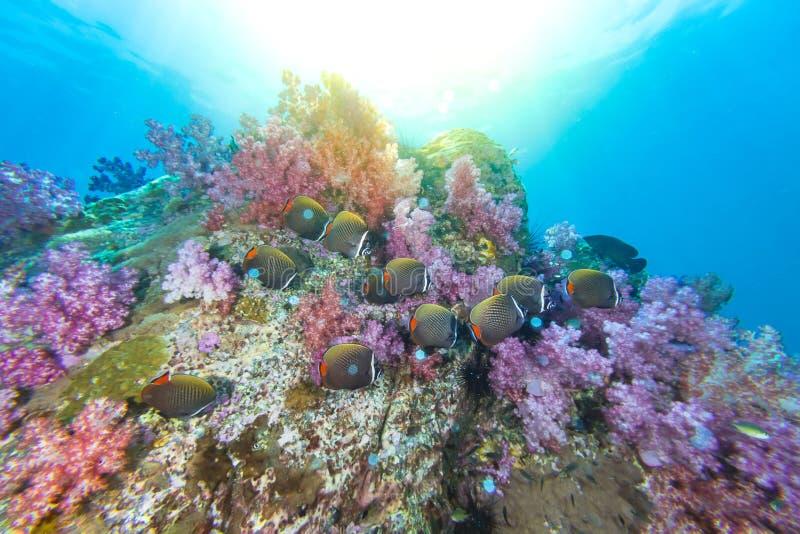 Skola av Collared Butterflyfish och mjuk korall arkivbild