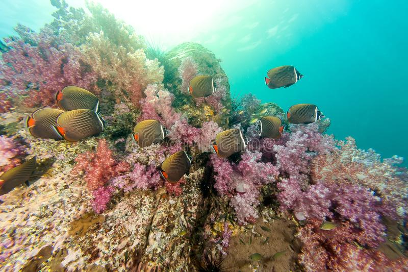 Skola av Collared Butterflyfish och mjuk korall royaltyfri bild