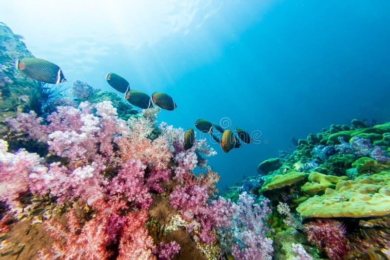 Skola av Collared Butterflyfish och mjuk korall arkivbilder