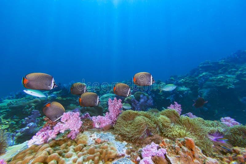 Skola av Collared Butterflyfish och mjuk korall royaltyfri fotografi