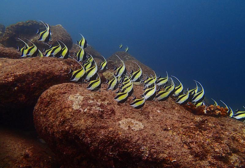 Skola av den moriska förebildrevfisken Zanclus Cornutus på en rev in royaltyfri fotografi