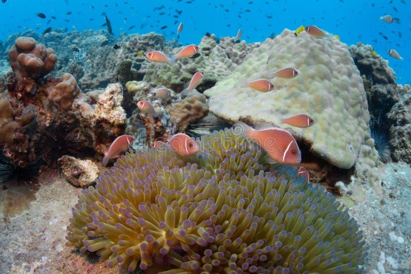 Skola av den rosa anemonefishAmphiprionperideraionen i en anemon royaltyfri foto