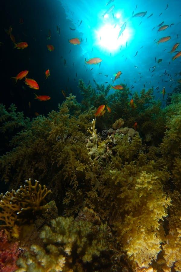 Skola av havsgoldiebadet över den gröna mjuka corallen i Ras Moha royaltyfri foto
