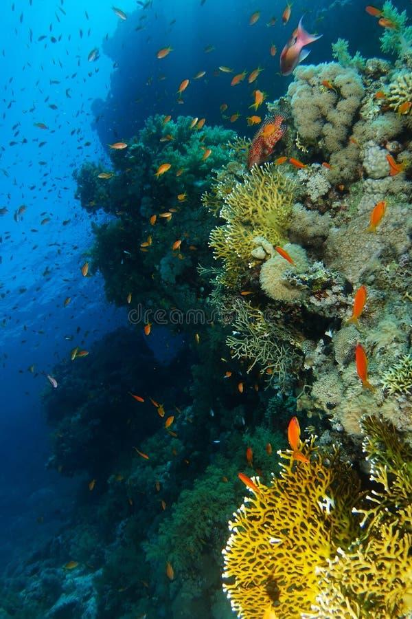 Skola av havsgoldiebadet nära korallväggen i Ras Mohammed na arkivbilder