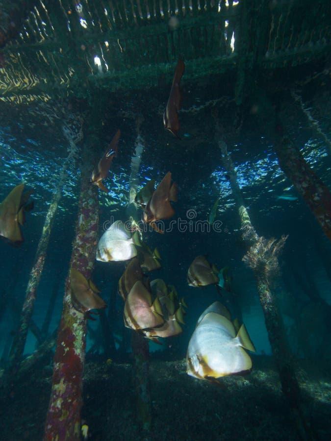 Skola av longfinspadefish under bryggan i Raja Ampat, Indonesien arkivbilder