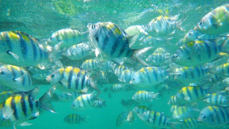 Skola av Sergant den viktiga fisken royaltyfri bild