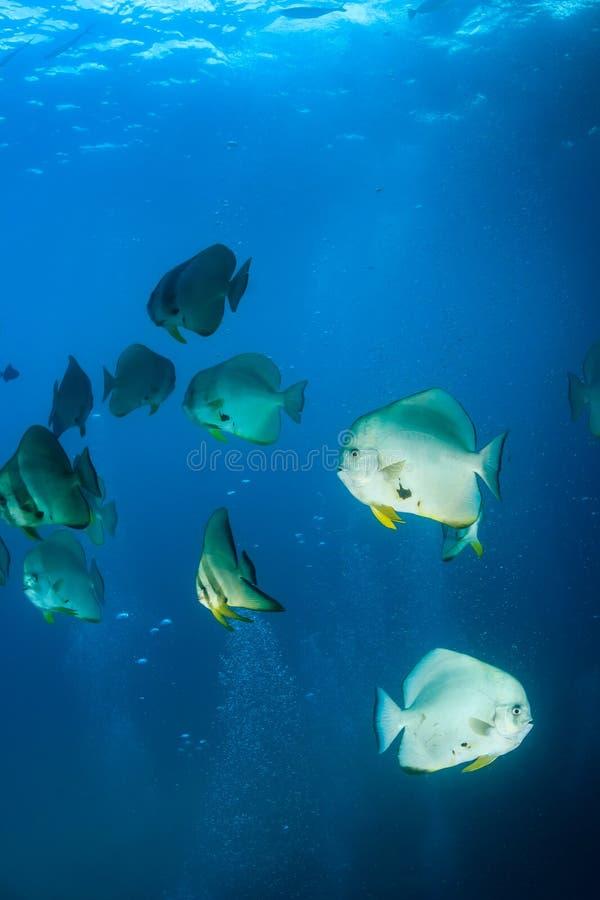 Skola av undervattens- Spadefish royaltyfri foto