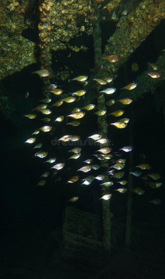 Skolan av fisken inom haverinamnet är SS Thistlegorm royaltyfri foto