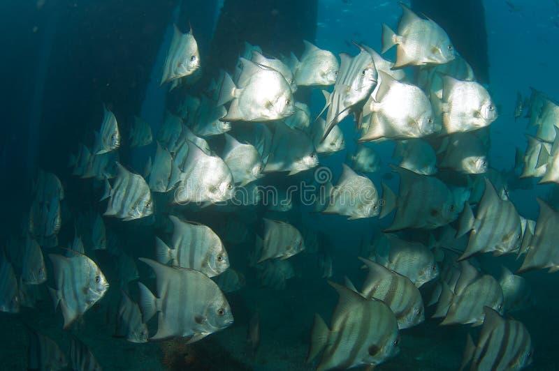 skolaspadefish arkivfoto