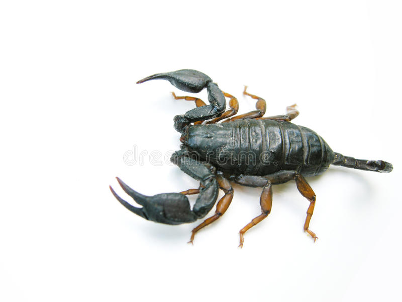 skorpion obrazy royalty free