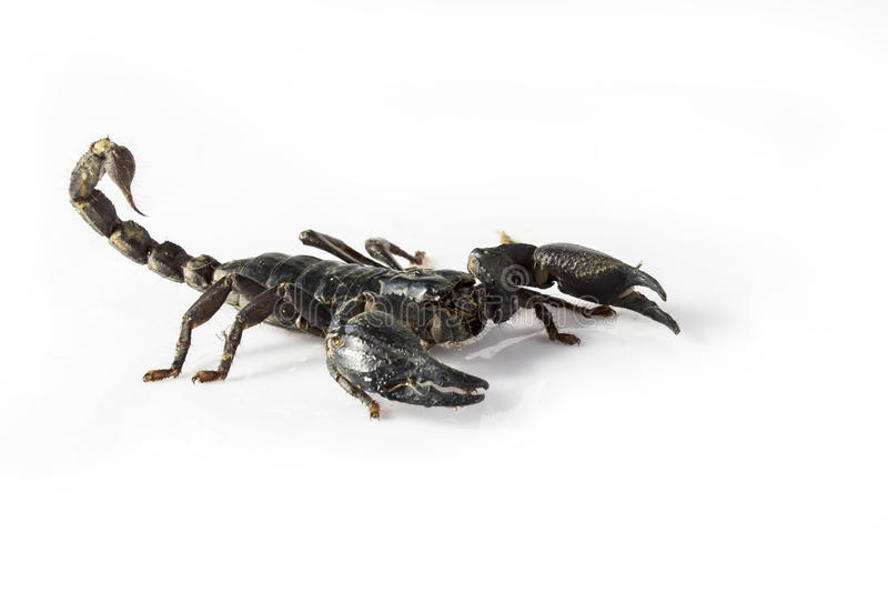 Skorpion stockfotos