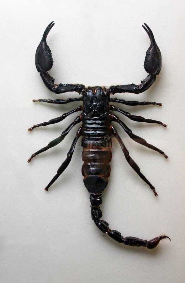 skorpion obraz royalty free