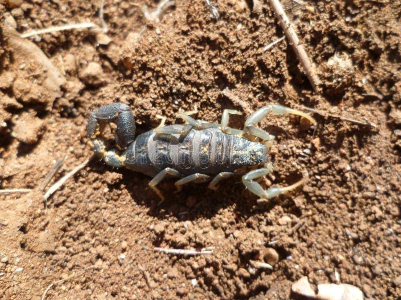 skorpion fotografia royalty free