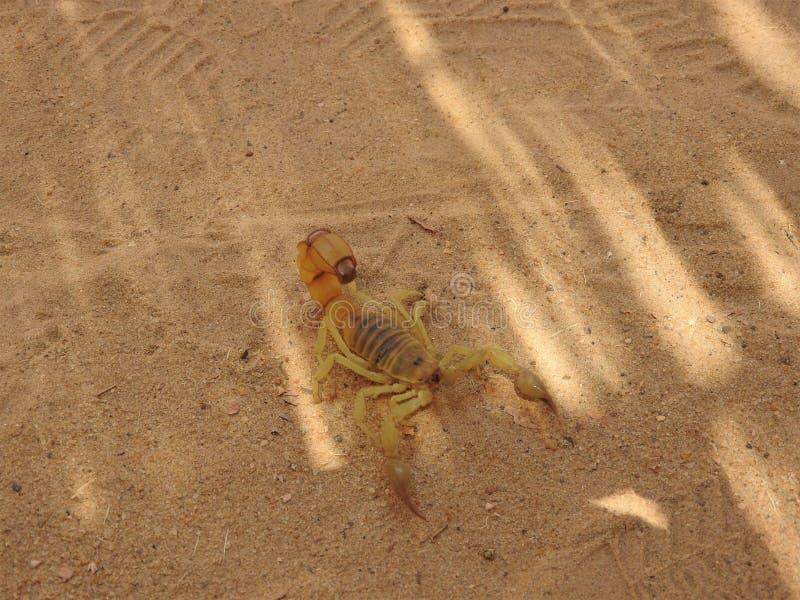 Skorpion auf dem Sand in seinem natürlichen Lebensraum, voller Tag Afrikas lizenzfreie stockfotos