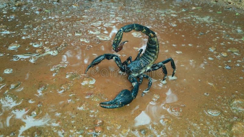 Skorpion auf Trinkwasser lizenzfreie stockfotografie
