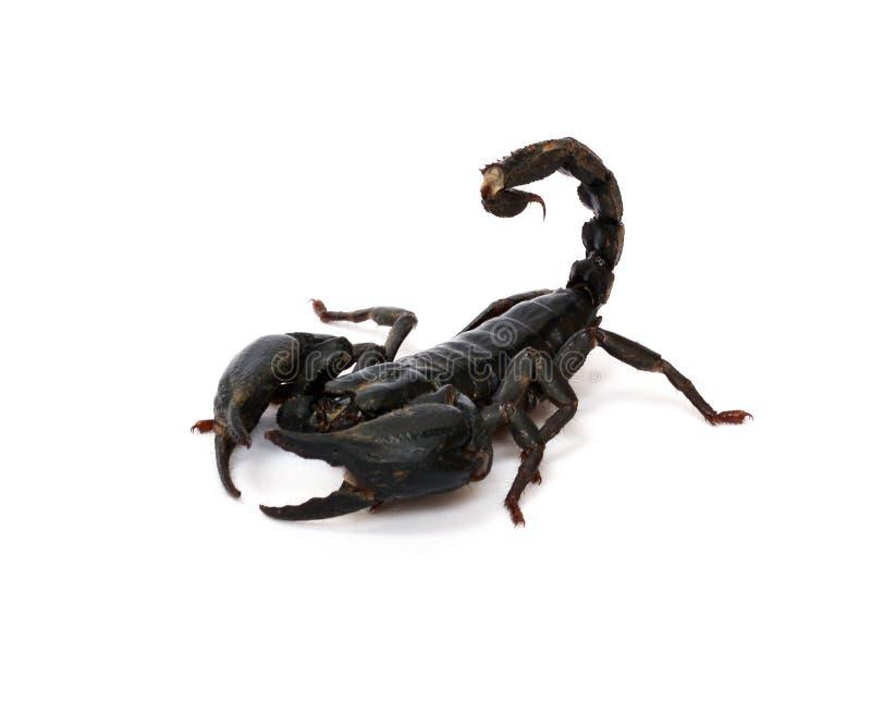 Skorpion auf weißem Hintergrund lizenzfreie stockfotos