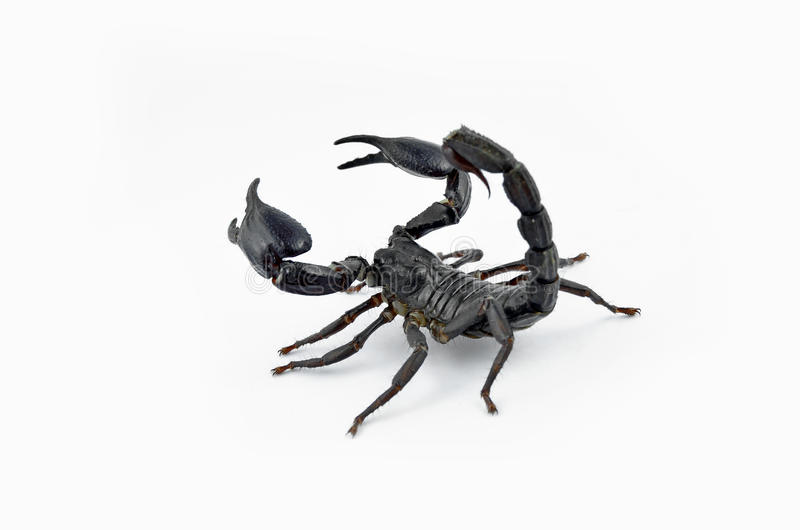 Skorpion Chang lizenzfreies stockbild
