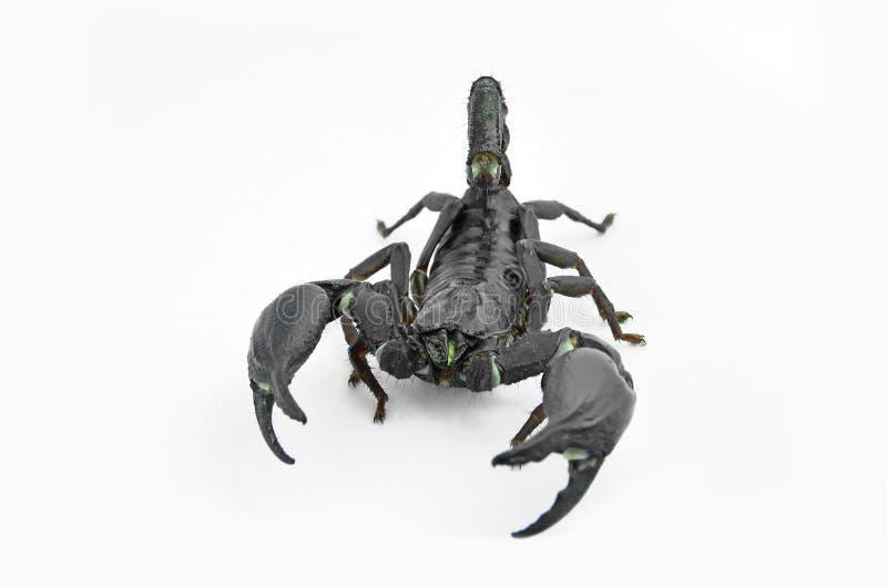 Skorpion Chang stockfoto
