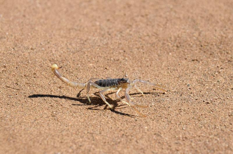 Skorpion in der Wüste lizenzfreie stockfotografie