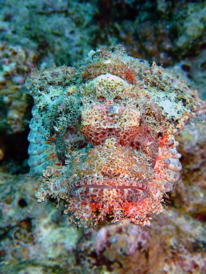 Skorpion-Fische stockbild. Bild von meer, marine, kiemen