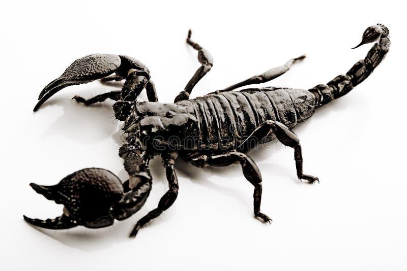 Skorpion - getrennt worden auf Weiß lizenzfreies stockbild