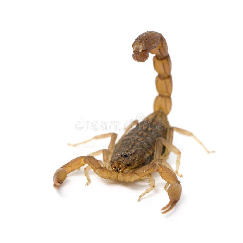 Skorpion - Hottentotta hottentotta lizenzfreie stockbilder