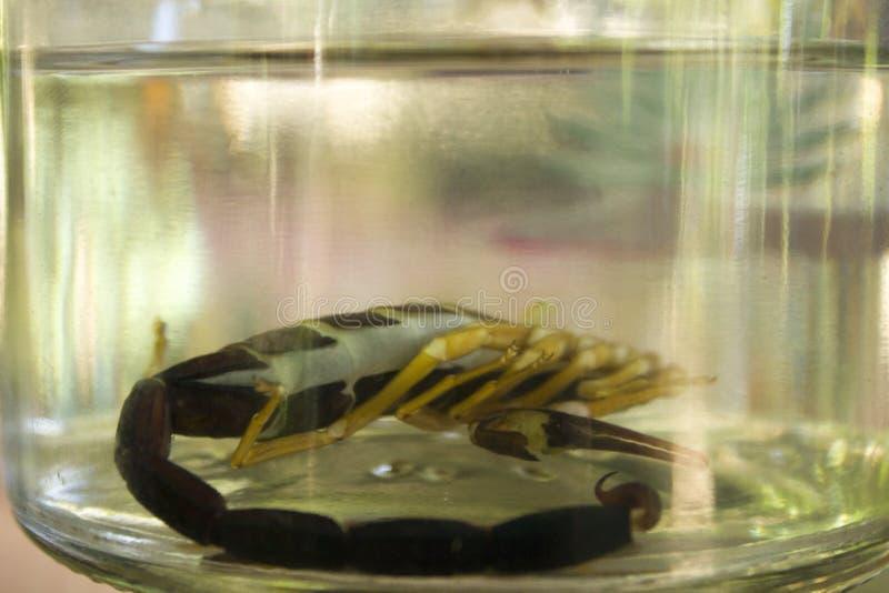 Skorpion Mezcal, Oaxaca Meksyk obrazy stock