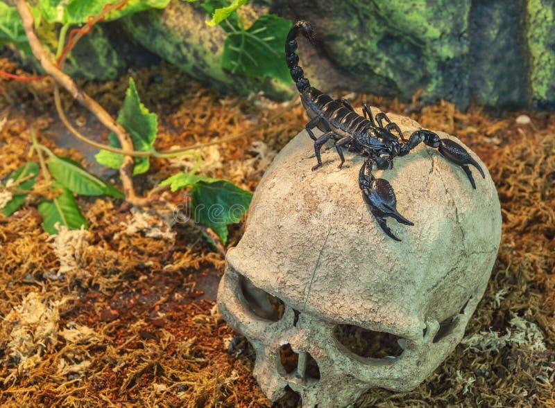Skorpion på en skalle arkivfoton