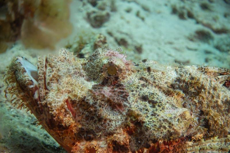 Skorpion ryba Na dnie morskim w Czerwonym morzu zdjęcia stock