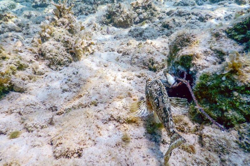 Skorpion ryba Podwodny Podwodny życie Mały czerwony scorpionfish zdjęcia royalty free