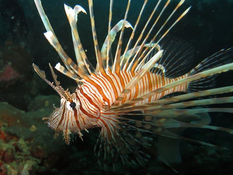 Skorpion ryba przy nocą Moalboal, Filipiny (-) obraz royalty free