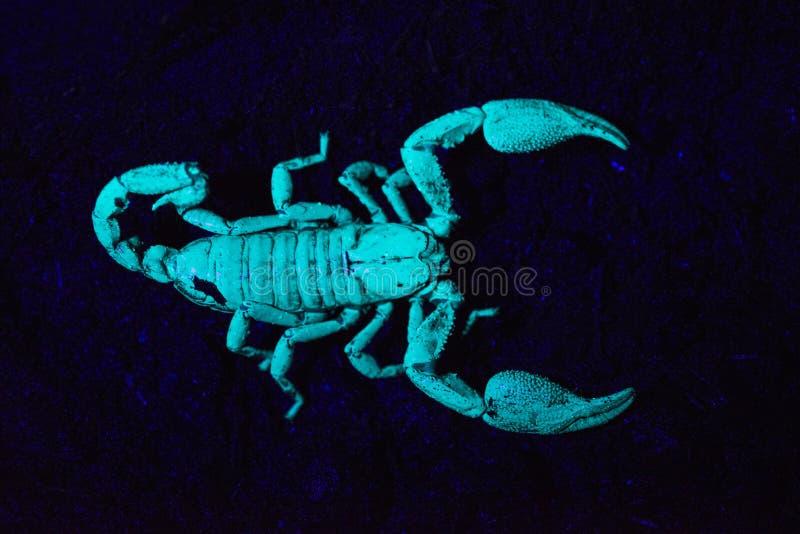 Skorpion under UV ljus, Scorpiones, Matheran, Maharashtra, Indien arkivfoto